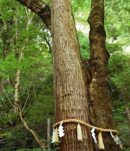 貴船神社・奥宮の相生の杉