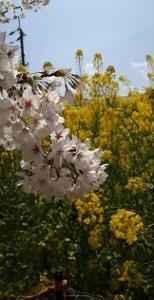 桜と菜の花アップ